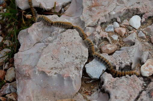 A conga line of fuzzy caterpillars: an apparently typical feature of Attic topography.