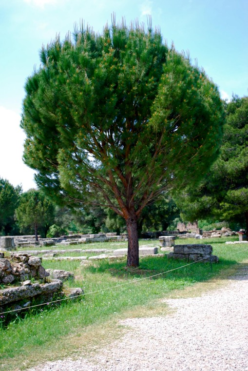 One of the sacred trees in the grove at Olympia.
