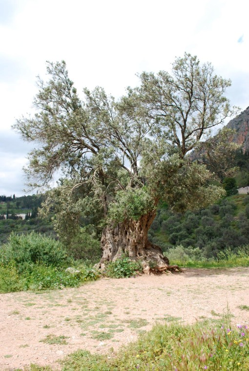 A very ancient olive tree in the xystos at Delphi.