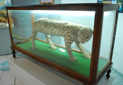 "The ""Kaplani in the Vitrine"" a wild cat who swam over to Samos in the 19th century, terrorized villagers, and was killed and stuffed by two brothers."