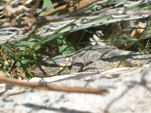 A Samian lizard.